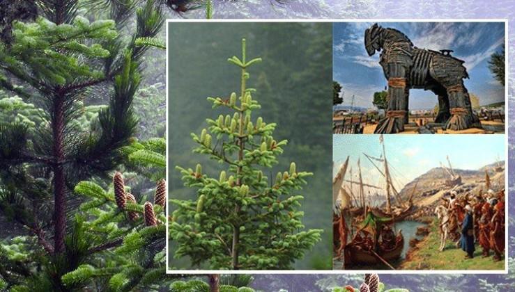 İstanbul'un Fethinde Rol Oynayan Bir Ağaç