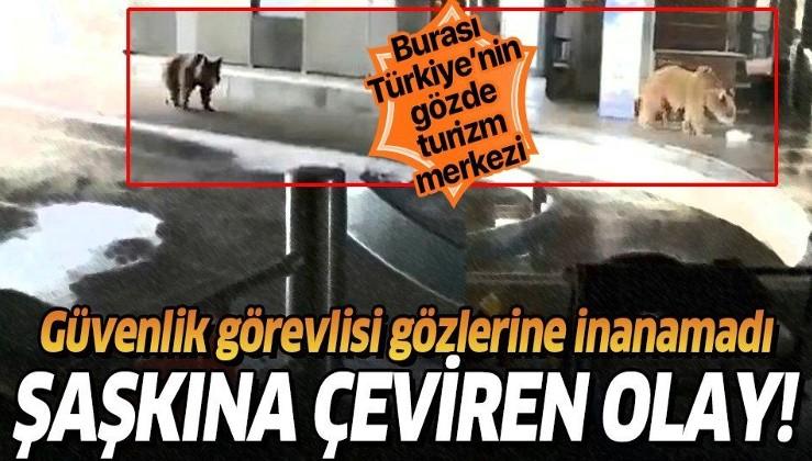 Bursa Uludağ'da aç kalan ayılar çareyi teleferiğe inmekte buldu