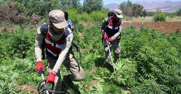 Diyarbakır'da narko terör operasyonu: 7 milyon 270 bin 752 kök kenevir bitkisi ele geçirildi