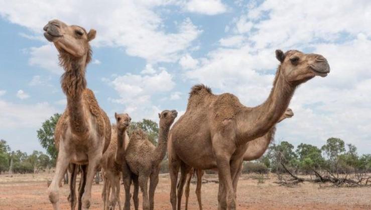 Son dakika: Avustralya'daki deve katliamını durdurmak için imza kampanyası başlatıldı.