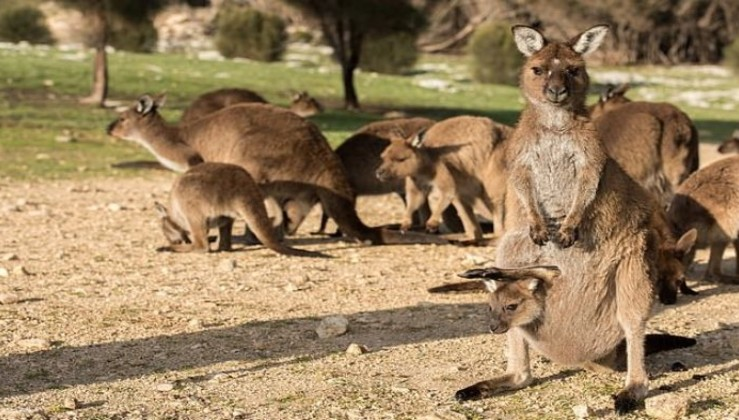 Soykırım !! On binlerce kanguru öldürülecek