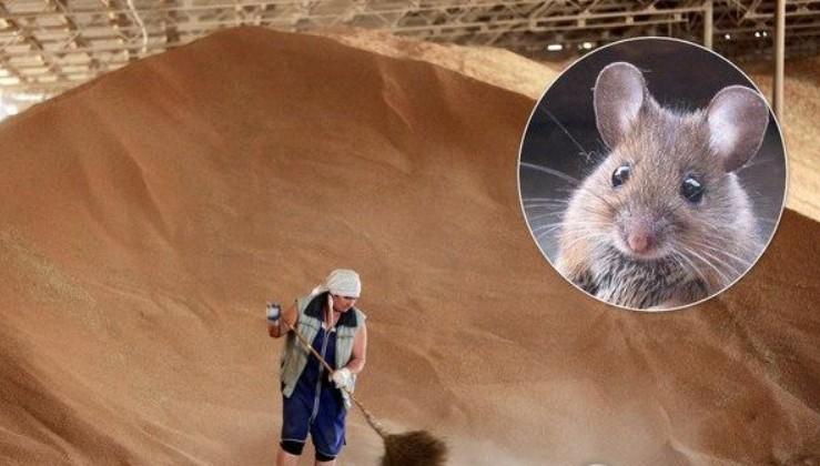 """""""А нема - миші з`їли"""" - Зникло понад 189 000 тонн зерна на суму більш ніж 800 000 000 грн (відео)"""