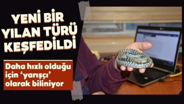 Türkiye'de yeni bir yılan türü keşfedildi: Yarışçı