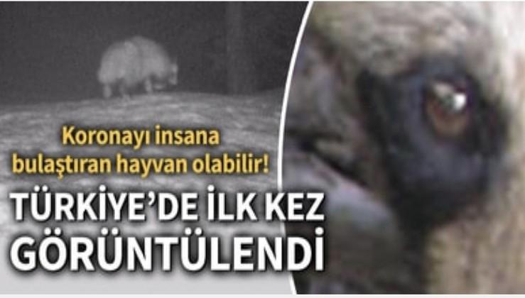 Son dakika... Türkiye'de ilk kez görülen koronavirüs şüphelisi rakun köpeği için uyarı