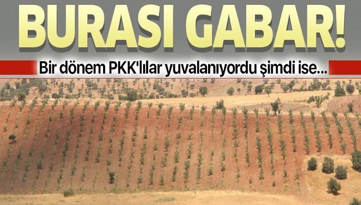 Bir dönem PKK'nın yuvalandığı Gabar ve Cudi dağlarında artık terörist değil fıstık yetişiyor