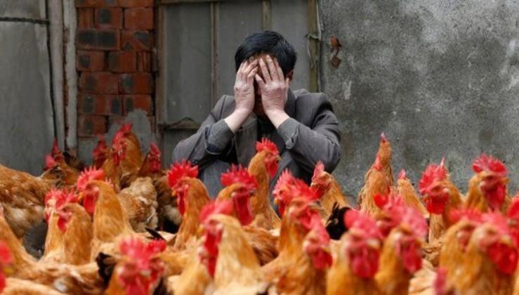 Japonya'da kuş gribi görülen eyalet sayısı 10'a yükseldi 3 milyon tavuk itlaf edildi