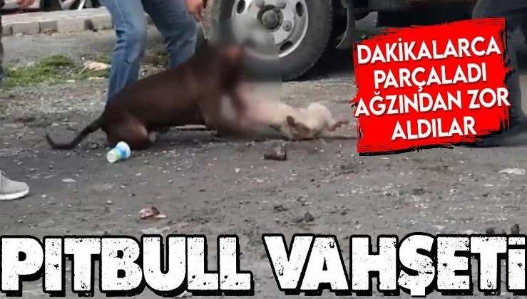 İstanbul'da pitbull vahşeti! Kediyi dakikalarca ağzından bırakmadı